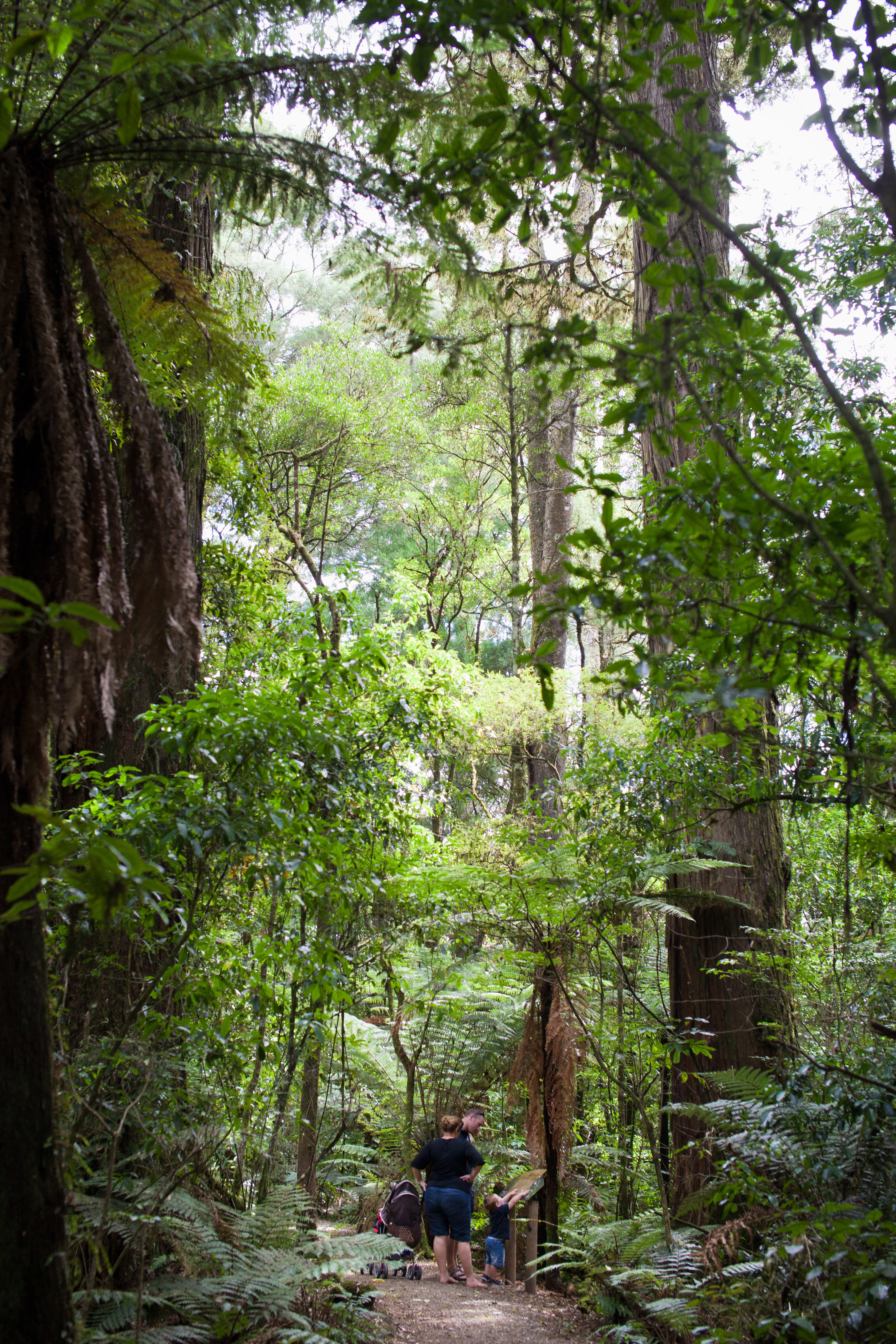 Pureora Forest Park, Timber Trail Walkway, Waitomo, NZ