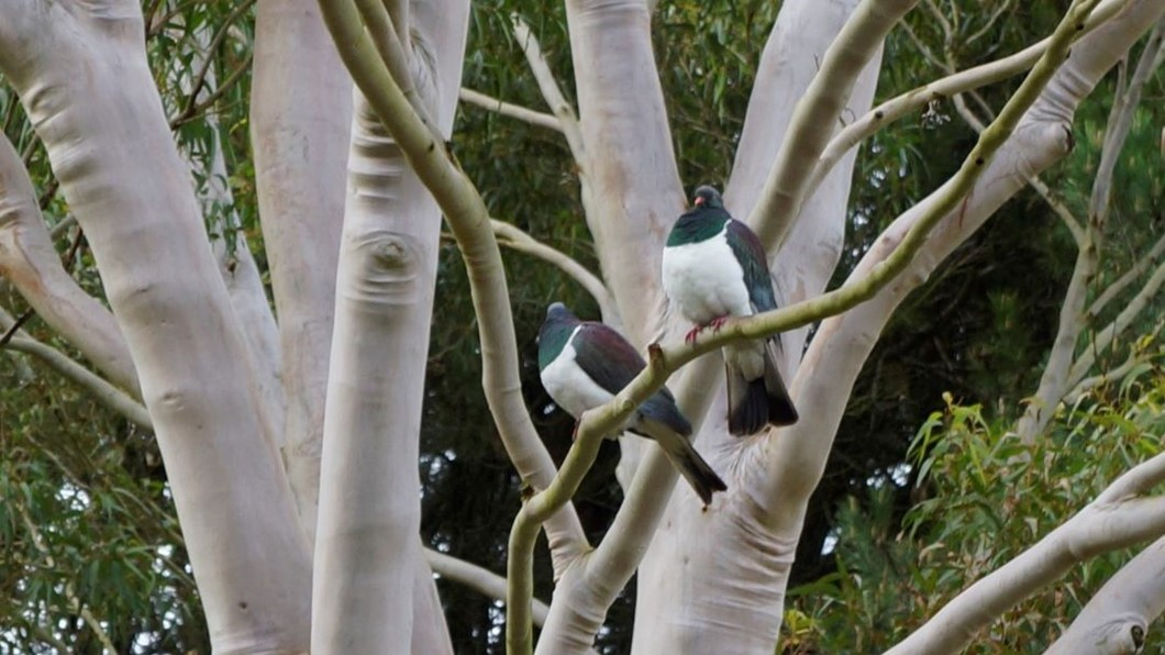 Kereru are among the birds and animals attracted to the park