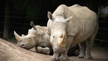 Southern White Rhinoceros at Hamilton Zoo.