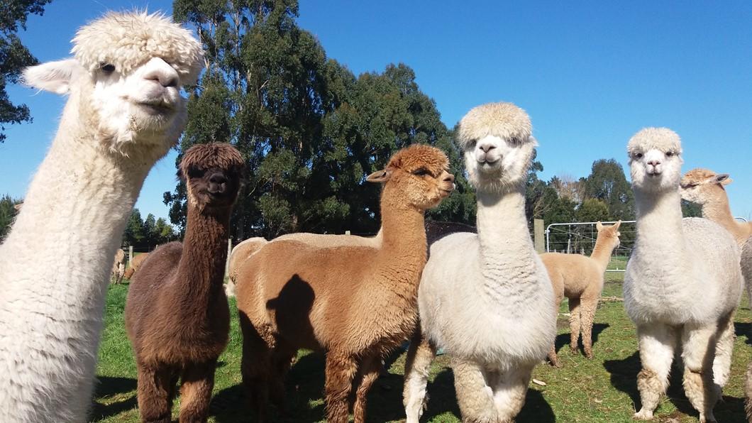 Cornerstone Alpaca Farm Tours - Activities - Hamilton & Waikato